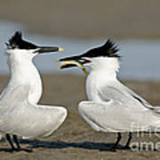Sandwich Tern Offering Fish Poster