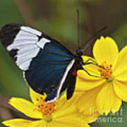 Sapho Longwing Yellow Oriented Poster