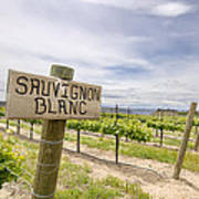 Sauvignon Blanc Grapes Growing In Vineyard Poster