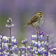 Savannah Sparrow And Nootka Lupine Poster