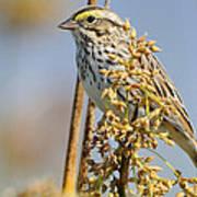 Savannah Sparrow  On A Reed Poster