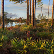 Saw Palmetto And Longleaf Pine Poster