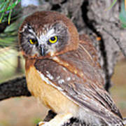 Saw-whet Owl In Conifers Poster