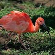Scarlet Ibis Hybrid Poster