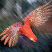 Scarlet Macaw Flying Amazon Basin Peru Poster