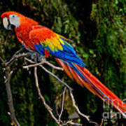 Scarlet Macaw Perched Poster