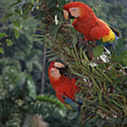 Scarlet Macaws In Rainforest Canopy Poster