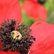 Scarlet Poppy Macro Poster