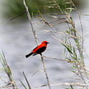 Scarlet Tanager - Coastal - Migration Poster
