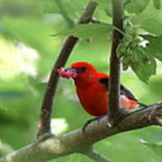 Scarlet Tanager - Fallout Poster