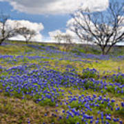 Scattered Bluebonnets Poster