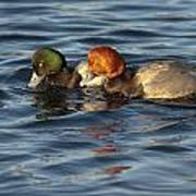 Scaup And Redhead Couple  Poster
