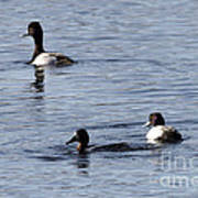 Scaup Ducks In The Spring Poster