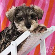 Schnauzer Puppy Looking Over Top Poster