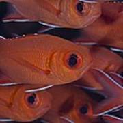 School Of Red Soldierfish Poster