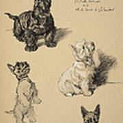 Scotch Terrier And White Westie Poster