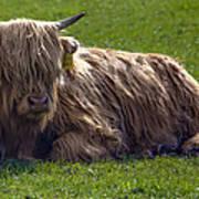 Scottish Highland Cattle 3                          Poster
