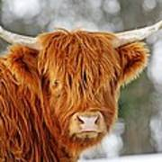 Scottish Highland Cow Poster