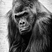 Scowling Gorilla Poster