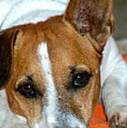 Scrappy The Jack Russell Poster