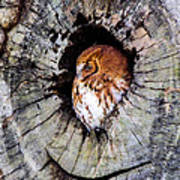 Screech Owl 02 Poster