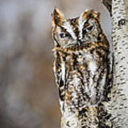 Screech Owl Checking You Out Poster