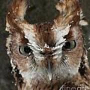 Screech Owl Portrait Poster
