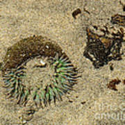Sea Anenome Half Buried In The Sand Poster by Artist and Photographer Laura Wrede