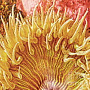 Sea Anenome Stretch Poster by Artist and Photographer Laura Wrede