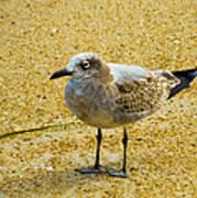 Sea Gull Poster