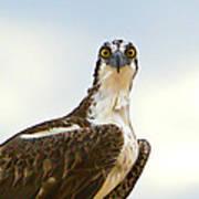 Sea Hawk Poster by Robert Bascelli