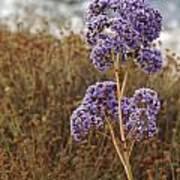 Sea Lavender In La Jolla Poster