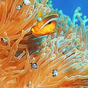 Sea Life - Anemone  Clownfish Poster