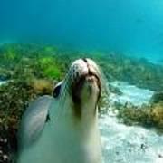 Sea Lion Bubble Blowing Poster