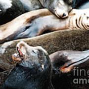 Sea Lion Dreams Poster