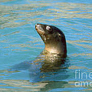 Sea Lion Poster by James L. Amos