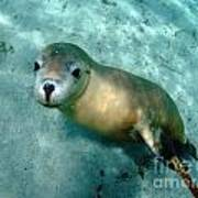 Sea Lion On The Seafloor Poster