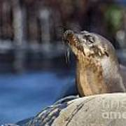 Sea Lion Resting Poster
