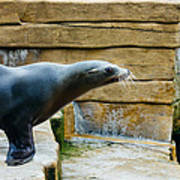 Sea Lion Side View Poster