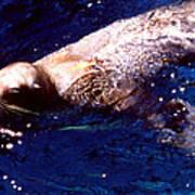 Sea Lion Swim Poster