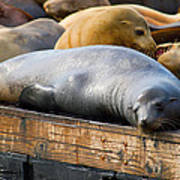 Sea Lions At Pier 39 In San Francisco Poster