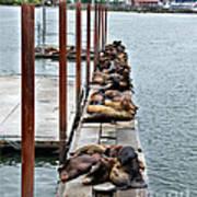 Sea Lions Sleeping Poster by Robert Bales