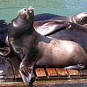 Sea Lions Sunning Poster by Yvette Pichette