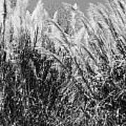 Sea Oats In The Glades Poster