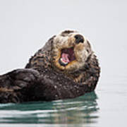 Sea Otter Scratching Head And Yawning Poster