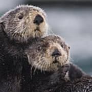 Sea Otters Huddled Together Poster