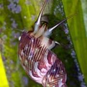 Sea Snail On Seagrass Poster by Science Photo Library