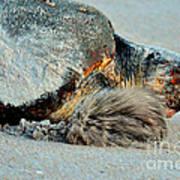 Sea Turtle Heading Back To Sea  Poster