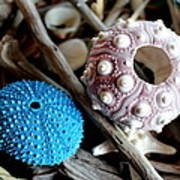 Sea Urchin Duo Poster