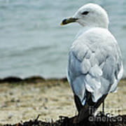 Seagull Poster